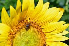 Girasole d'impollinazione dell'ape Fotografia Stock