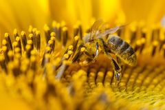 Girasole d'impollinazione dell'ape del miele Macro semi ed insetto di fiore di vista che cercano nettare Profondità di campo bass Fotografie Stock