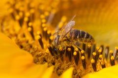 Girasole d'impollinazione dell'ape mellifica Macro semi ed insetto di fiore di vista che cercano nettare Profondità di campo bass Fotografie Stock