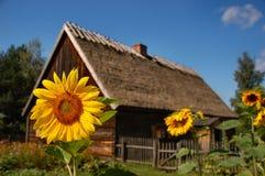 Girasole davanti alla vecchia casa del cottage Fotografie Stock Libere da Diritti