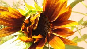 Girasole del ` di Sun di sera del `, spiegamento di helianthus annuus alla luce solare luminosa di estate fotografia stock libera da diritti