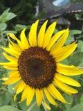 Girasole del fiore Immagine Stock Libera da Diritti