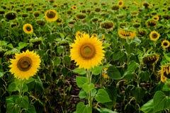 Girasole del paesaggio del giacimento del girasole, crescita, campi, paesaggio, agricoltura, fondo, bello, bellezza, blu, radura Immagini Stock