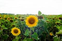 Girasole del paesaggio del giacimento del girasole, crescita, campi, paesaggio, agricoltura, fondo, bello, bellezza, blu, radura Immagine Stock Libera da Diritti