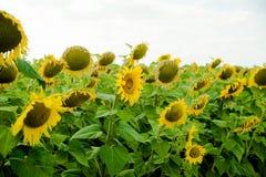 Girasole del paesaggio del giacimento del girasole, crescita, campi, paesaggio, agricoltura, fondo, bello, bellezza, blu, radura Immagine Stock