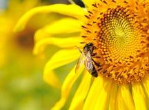 Girasole del primo piano con l'ape Fotografie Stock Libere da Diritti