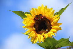 Girasole della farfalla Fotografia Stock Libera da Diritti