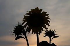 Girasole della siluetta prima del tramonto Fotografia Stock Libera da Diritti