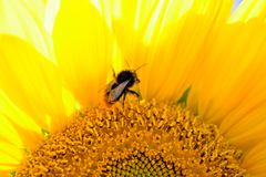 girasole di estate della natura dell'ape Fotografia Stock