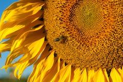 girasole di estate della natura dell'ape Fotografie Stock Libere da Diritti
