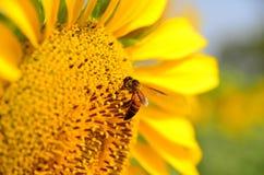 girasole di estate della natura dell'ape immagine stock