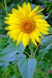 Girasole di fioritura Fotografia Stock Libera da Diritti