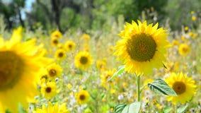 Girasole di fioritura che ondeggia in vento nel campo stock footage