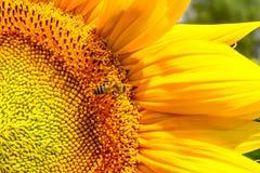 Girasole di fioritura ed impollinarlo ape del miele Fotografia Stock Libera da Diritti