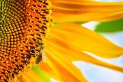 Girasole di fioritura ed impollinarlo ape del miele Fotografia Stock