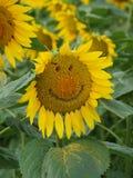 Girasole di smiley Fotografia Stock