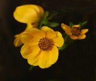 Girasole di Tickseed in Jean Lafitte Park Fotografie Stock