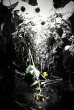 Girasole distrutto abbattendo Fotografie Stock Libere da Diritti