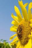 Girasole e ape Fotografia Stock