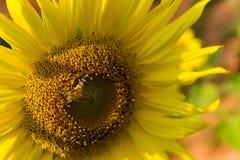 Girasole e ape Fotografie Stock Libere da Diritti