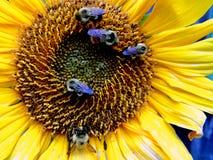 Girasole e api Immagini Stock