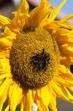 Girasole e api Fotografia Stock
