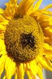 Girasole e api Immagine Stock Libera da Diritti