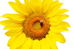 Girasole e bombo del fiore Fotografia Stock