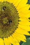 Girasole e due api Fotografia Stock