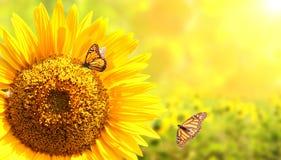 Girasole e farfalle di monarca su fondo soleggiato vago Fotografia Stock
