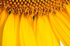 Girasole, fondo del dettaglio dei petali Fotografia Stock