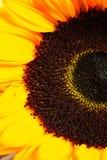 Girasole giallo Immagini Stock