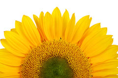 girasole giallo Immagini Stock Libere da Diritti