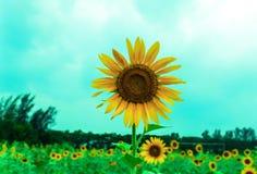 Girasole giallo con sfuocatura Baclground fotografie stock libere da diritti
