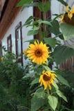 Girasole giallo del fiore Fotografie Stock