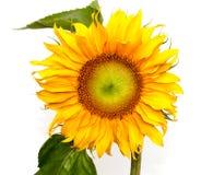 Girasole giallo del fiore su priorità bassa bianca Immagine Stock