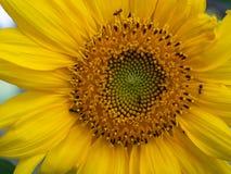 Girasole giallo del primo piano con gli insetti delle formiche degli insetti immagini stock libere da diritti