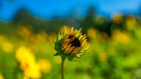 Girasole giallo di fioritura nella priorità alta Fotografia Stock