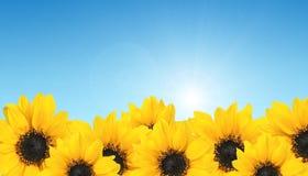Girasole giallo di riga su cielo blu. Agricoltura Fotografie Stock