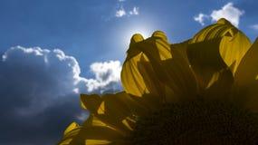 girasole giallo fotografie stock
