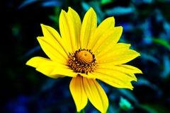 girasole giallo in giardino Immagine Stock