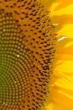 Girasole giallo luminoso fotografie stock