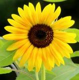 Girasole giallo luminoso Fotografia Stock Libera da Diritti