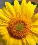 Girasole giallo luminoso Fotografia Stock