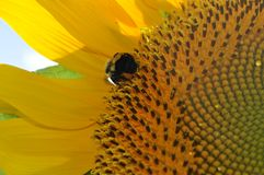 Girasole giallo luminoso con la fine su di un'ape immagini stock