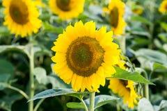 Girasole giallo nel campo immagini stock libere da diritti