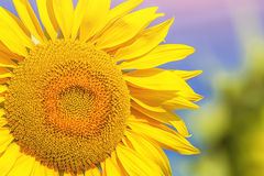 Girasole giallo nel giacimento del girasole Fotografie Stock Libere da Diritti