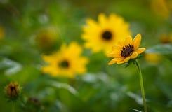 Girasole giallo nella priorità alta Fotografie Stock