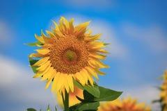 Girasole giallo piacevole Fotografie Stock Libere da Diritti