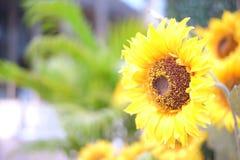 Girasole in giardino Fotografie Stock